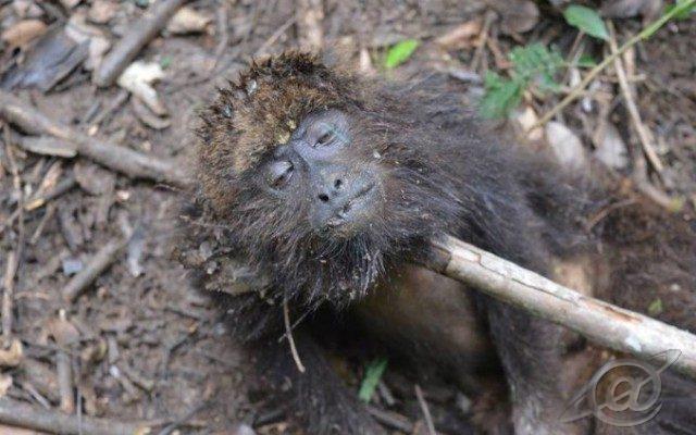 Macaco morto