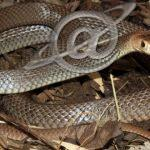 Invasão de serpentes